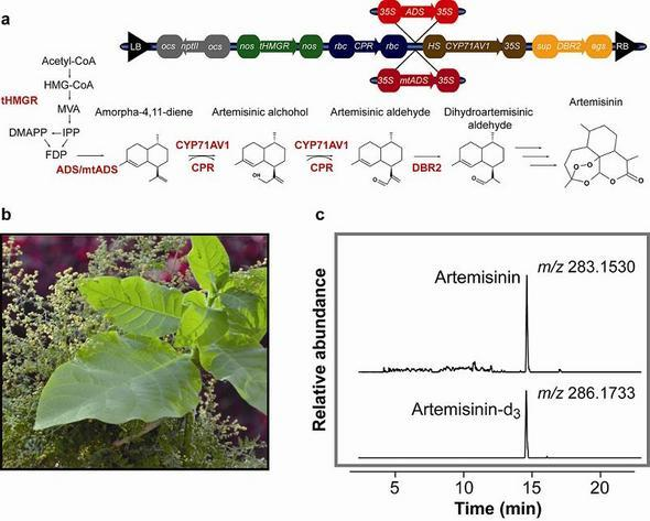 Efficient Biosynthesis of Natural Potent Anti-Malarial Drug