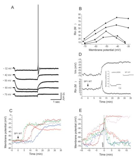 Sp1-Protein Variants as Novel Scaffolds for the Formation of Functional Interfaces Between Electrodes, Neurons, Cells and their Surroundings